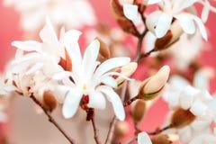 Piękny kwiatonośny Magnoliowy drzewo z różowymi kwiatami tło mleczy spring pełne meadow żółty Fotografia Stock