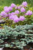 Piękny kwiatonośny różanecznik w ogródzie Finlandia Obrazy Royalty Free