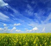 Piękny kwiatonośny rapeseed pole pod niebieskim niebem Obraz Royalty Free