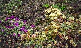 Piękny kwiatonośny Rododendronowy Aureum na tle góra Obrazy Royalty Free
