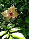 piękny kwiatu poślubnika kolor żółty obraz stock