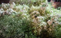 Piękny kwiatu przygotowania w ` kwiacie dla ojca ` aktywności po to, aby być świadomy jego wysokość królewiątko Bhumibol Adulyade Obraz Royalty Free