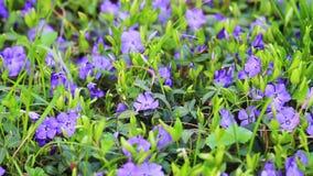 Piękny kwiatu Vinca kołysanie w wiatrze zbiory