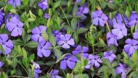 Piękny kwiatu Vinca w wieczór świetle zdjęcie wideo