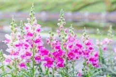 Piękny kwiatu, zieleń liścia tło w kwiatu ogródzie przy pogodnym dniem i Obrazy Stock