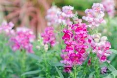 Piękny kwiatu, zieleń liścia tło w kwiatu ogródzie przy pogodnym dniem i Zdjęcia Stock