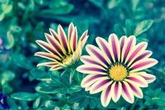 Piękny kwiatu, zieleń liścia tło w kwiatu ogródzie przy pogodnym dniem i Zdjęcie Royalty Free
