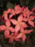 Piękny, kwiaty, tło, czerwień, Dobrze patrzeje obrazy royalty free