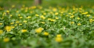 Piękny Kwiecisty Rabatowy żółty kwiat Obrazy Stock
