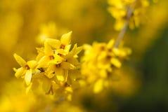 Piękny Kwiecisty Rabatowy żółty kwiat Zdjęcia Royalty Free