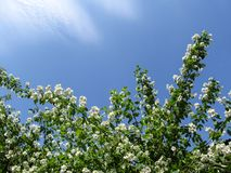 Piękny kwiecisty tło dla kartka z pozdrowieniami - delikatni biali Philadelphus kwiaty, niebieskie niebo jako i kopiują przestrze Zdjęcie Royalty Free