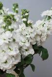 Piękny Kwiecisty tło Mathiola Białych kwiatów wiosna, wielkanoc lub ogrodnictwa pojęcie, Kwiaty w cieple Zdjęcia Royalty Free