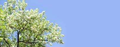 Piękny kwiecisty wiosna czasu tło Kwitnąć białą płatek gałąź Niebieskiego nieba tło, kopii przestrzeń shalna obraz royalty free