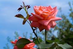 Piękny kwitnąć wzrastał przeciw niebieskiemu niebu. Fotografia Royalty Free
