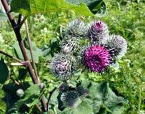 Piękny kwitnący agrimony Fotografia Stock