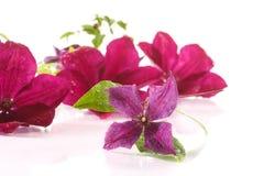 Piękny kwitnący clematis Zdjęcia Royalty Free