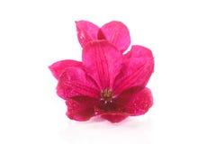 Piękny kwitnący clematis Zdjęcie Stock