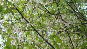 Piękny kwitnący czereśniowy drzewo w ciepłym, wiosny światło słoneczne zbiory
