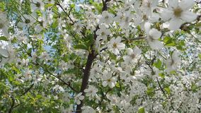Piękny kwitnący czereśniowy drzewo w ciepłym, wiosny światło słoneczne zdjęcie wideo