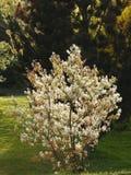 Piękny kwitnący czereśniowy okwitnięcie zdjęcia stock