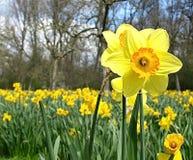 Piękny kwitnący daffodil w daffodil polu fotografia stock