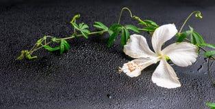 Piękny kwitnący delikatny biały poślubnik, zielona gałązka z miewa skłonność Fotografia Royalty Free