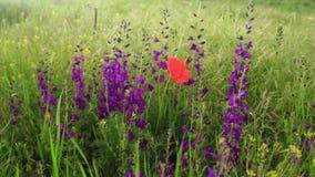 Piękny kwitnący lata pole z maczkiem i purpurami kwitnie kiwanie w wiatrze zbiory wideo