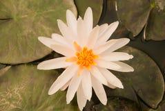 piękny kwitnący lotosowy biel Zdjęcia Royalty Free