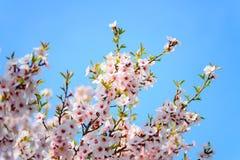 Piękny kwitnący morelowy drzewo Zdjęcia Royalty Free
