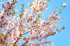 Piękny kwitnący morelowy drzewo Zdjęcie Stock