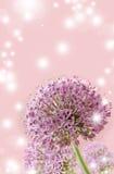 Piękny Kwitnący Purpurowy Allium zakończenie Up, powitanie lub Ślubny Karciany projekt, Zdjęcie Stock