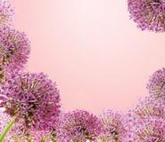 Piękny Kwitnący Purpurowy Allium zakończenie Up, powitanie lub Ślubny Karciany projekt, Sezonowy kwiatu tło Obrazy Stock
