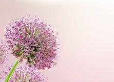 Piękny Kwitnący Purpurowy Allium zakończenie Up, powitanie lub Ślubny Karciany projekt, Sezonowy kwiatu tło Zdjęcie Stock