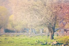 Piękny kwitnie drzewo przeciw tłu stare ruiny Lato, wiosny tło zdjęcie royalty free