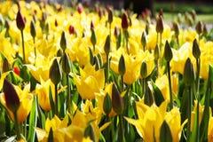 piękny kwitnienia ogródu tulipanów kolor żółty Fotografia Stock