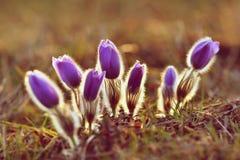 piękny kwitnienie kwitnie wiosna Naturalny barwiony zamazany tło (Pasque kwiaty - Pulsatilla grandis) Obraz Stock