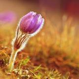 piękny kwitnienie kwitnie wiosna Naturalny barwiony zamazany tło (Pasque kwiaty - Pulsatilla grandis) Zdjęcie Stock