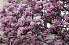 Piękny kwitnienie menchii magnolii drzewo szczeg??owy rysunek kwiecisty pochodzenie wektora fotografia stock