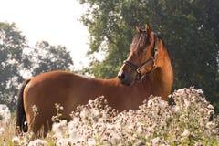 Piękny KWPN koń Zdjęcie Royalty Free