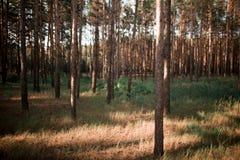 Piękny las z drzewnymi bagażnikami Fotografia Royalty Free
