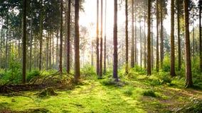 Piękny las z jaskrawym słońcem obraz royalty free