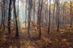 Piękny las z sunrays błyszczy Fotografia Royalty Free