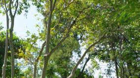Piękny lasowy drzewo na niebie, ulistnieniu i gałąź na natury lecie w parku, zdjęcie wideo