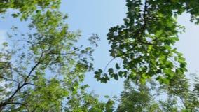 Piękny lasowy drzewo na niebie, ulistnieniu i gałąź na natury lecie w parku, zbiory wideo