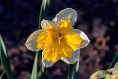Piękny lato Koronujący daffodils korona słoneczna zdjęcie stock