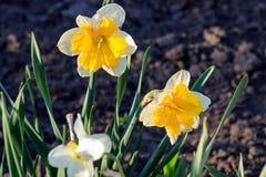 Piękny lato Koronujący daffodils korona słoneczna fotografia royalty free