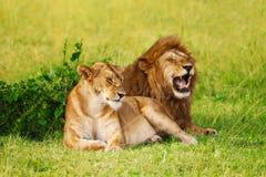 Piękny lew i lwica odpoczywa przy safari parkiem obrazy stock