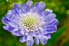Piękny lily błękita ogród chabrowy zdjęcia royalty free