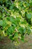 Piękny Lipa przygotowywa jej unikalne i pożytecznie owoc jako prezent zaludniać Lipowa herbata jest nie tylko dystyngowanym smaki zdjęcia royalty free