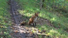Piękny lis siedzi na jesieni lasowej drodze zbiory wideo